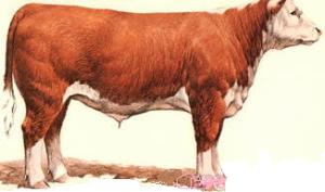 beef fat steer.png2